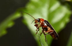 Macro beetle firefighter sitting sheet Royalty Free Stock Image
