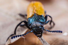 Macro of a beetle Stock Photos