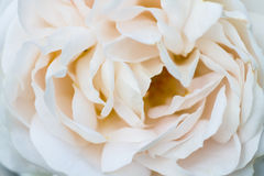 Macro of a beige colored rose Royalty Free Stock Photo