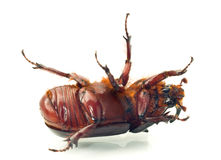Macro Belly of rhinoceros or unicorn beetle Royalty Free Stock Images