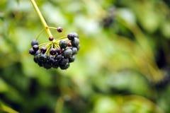 Macro berries shot. Beautiful green colors in a macro berries shot Stock Photo