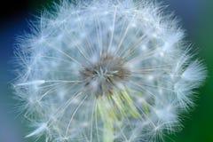 Macro bianca del fiore del dente di leone Fotografie Stock