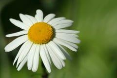 Macro bianca del fiore della camomilla, su sfondo naturale fotografia stock libera da diritti