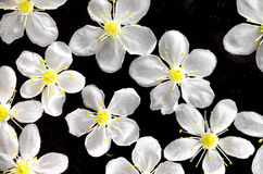 Macro bianca del fiore di ciliegia Immagine Stock Libera da Diritti