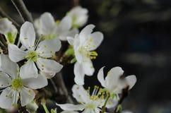 Macro bianca del fiore di ciliegia Immagini Stock Libere da Diritti