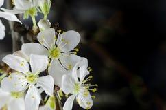 Macro bianca del fiore di ciliegia Immagini Stock