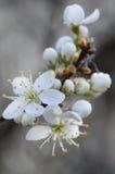 Macro bianca del fiore di ciliegia Fotografia Stock