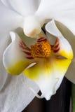 Macro bianca dell'orchidea Orchidaceae Fotografia Stock