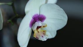 Macro bianca dell'orchidea su un fondo nero con un cursore archivi video
