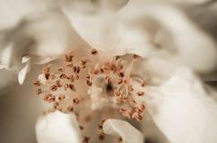 Macro bianca della Rosa Fotografia Stock Libera da Diritti