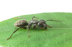 Macro of big ant Royalty Free Stock Photos