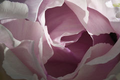 Macro big beautiful pink peony flower: petals curving gentle smooth waves create natural abstraction. Stock Photo