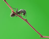 Ant on tree twig Stock Photo
