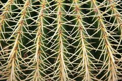 Macro of big cactus spines. Royalty Free Stock Photo