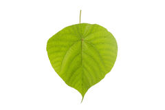 Macro big green tree leaf. Studio shot isolated on white. Background Stock Image