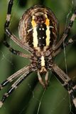 Big female spider lurking. Macro of a big female spider lurking on a web Royalty Free Stock Images