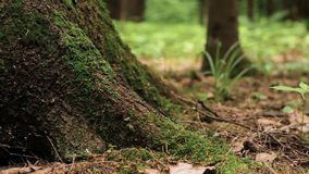 Macro of big pine tree trunk. Panning shot of base of huge pine tree trunk overgrown with green moss in summer forest. Shallow depth of field, close up stock video footage