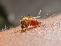 Macro of biting mosquito Stock Images