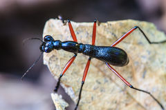 Macro of black ant Royalty Free Stock Images