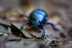 Macro of a black beetle Stock Photo