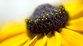 Macro Black Eyed Susan. A macro of a black eyed susan Stock Photography