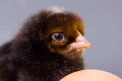Macro of black newborn chicken head Royalty Free Stock Photo