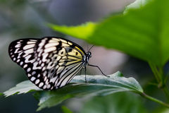 Macro of Black and White Butterfly Royalty Free Stock Images