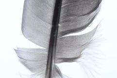 Macro of black and white feather Stock Photos