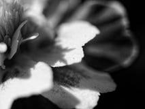 MACRO: Black and white flower Royalty Free Stock Photos