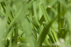 Macro Blades of Grass. Close-up Macro Blades of Grass Stock Photo