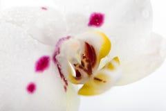 Macro blanc d'orchidée Image libre de droits