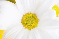 Macro blanc de fleur de chrysanthème Images stock