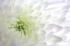 Macro blanca de la dalia Fotografía de archivo