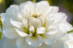 Macro blanca de la dalia Imagen de archivo