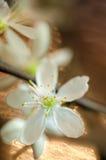 Macro blanca de la flor de cerezo Imagen de archivo
