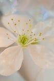 Macro blanca de la flor de cerezo Fotos de archivo