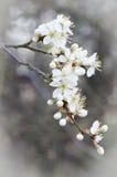 Macro blanca de la flor de cerezo Fotografía de archivo