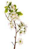 Macro blanca del flor de cereza Fotos de archivo