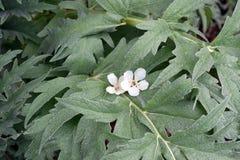 Macro blanca del flor en hojas de la alcachofa Imagenes de archivo