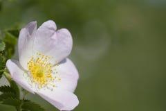 Macro blanca y rosada hermosa de la flor con un verde Imagen de archivo