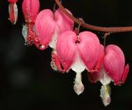 Macro of Bleeding Heart flower Stock Image
