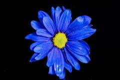 Macro bleu de fleur Photo stock