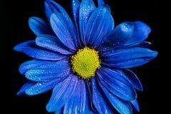Macro bleu de fleur Photographie stock libre de droits