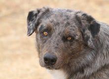 Macro bleu de Merle Dog Photos libres de droits