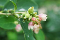 Macro bloeiende bloemen van witte en roze snobber Symphoricarpos stock foto's