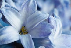 Macro bloemHyacint Stock Afbeelding