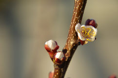 Macro of blooming apricot brunch Stock Photos