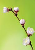 Macro of blooming fruit tree brunch Royalty Free Stock Photo