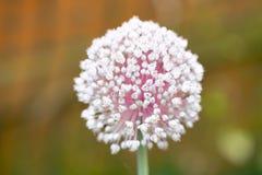 Macro of a blooming garlic stock photography