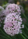 Purple onion flower heads Royalty Free Stock Images